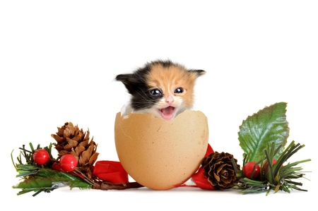 christmas pussy: Cute baby cat inside an egg shell in Christmas isolated in white
