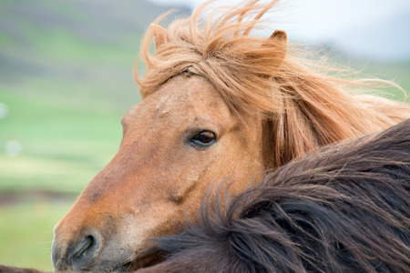 Icelandic horses in a very common windy day
