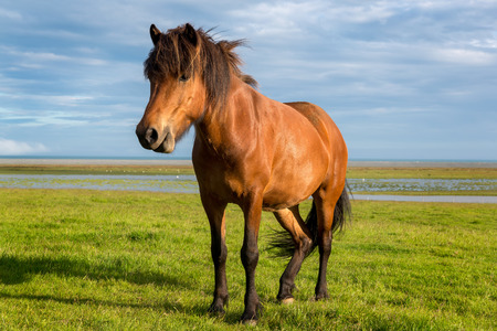 overcast: Icelandic horse with beautiful sunset light and overcast sky
