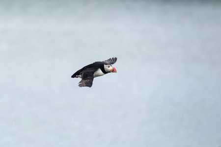 puffin: Atlantic Puffin, Fratercula artica in flight, Borgarfjordur, Iceland Stock Photo