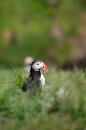 puffin: Atlantic Puffin, Fratercula artica in Borgarfjordur, Iceland