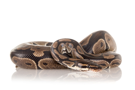 suffocation: Beautiful python isolated in a white background Stock Photo