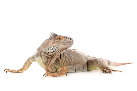Beautiful Iguana isolated in a white background Stock Photo