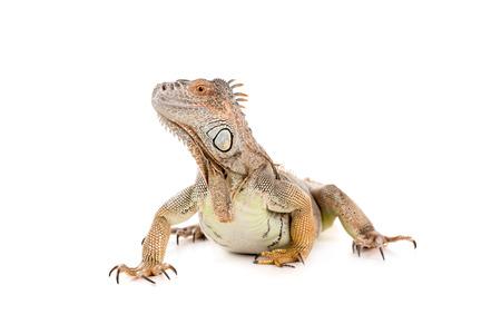 Beautiful Iguana isolated in a white background Stock Photo