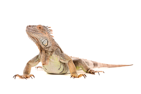 crested gecko: Beautiful Iguana isolated in a white background Stock Photo