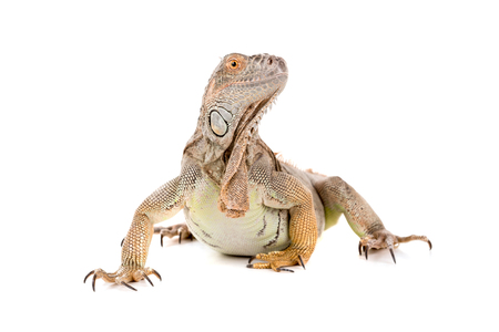 Beautiful Iguana isolated in a white background