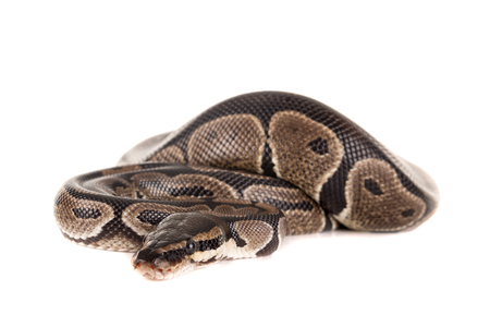 Beautiful python isolated in a white background Stock Photo