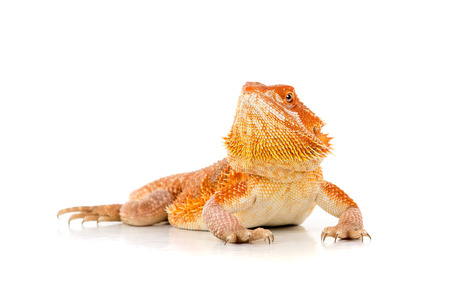 saurian: Central bearded dragon, , isolated in white