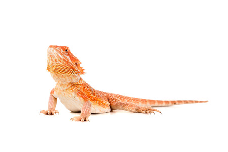 Central bearded dragon, , isolated in white