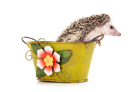 Cute hedgehog inside a vase isolated in white Stock Photo