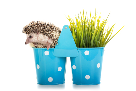 Cute hedgehog inside a vase isolated in white Imagens