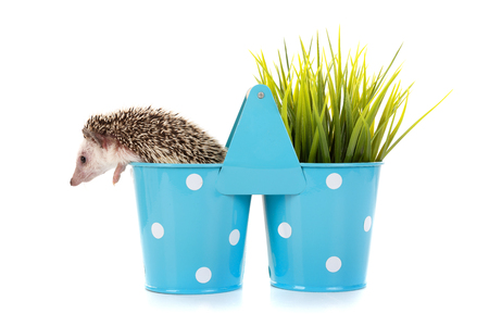 Cute hedgehog inside a vase isolated in white Imagens - 74544230