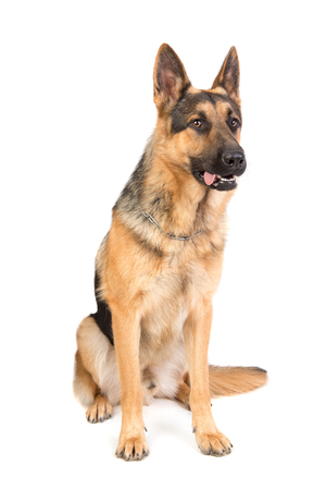 dog, German Shepherd, isolated in a white background