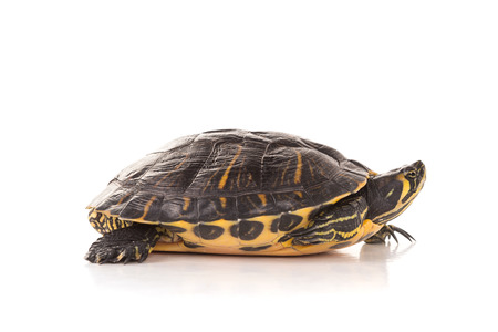 Cute little turtle isolated in a white background