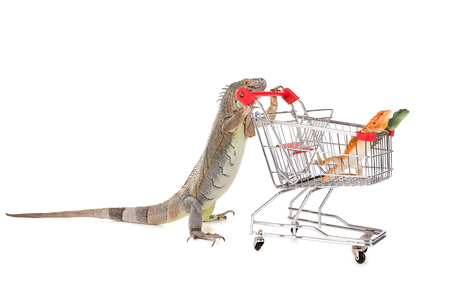 Iguana with shopping cart with lizards isolated in a white background Stock Photo