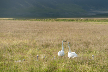 Whooper Swan family, Cygnus cygnus in Iceland Stock Photo - 81605710
