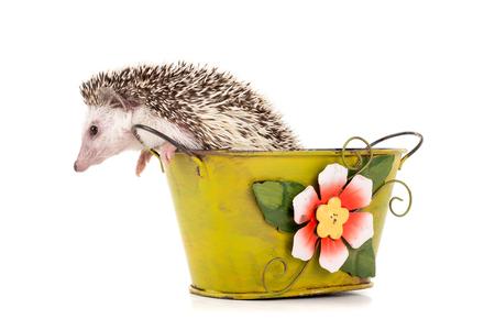 かわいいハリネズミの白で分離された花瓶の中