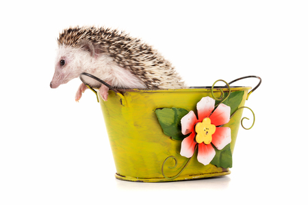 Cute hedgehog inside a vase isolated in white Banco de Imagens