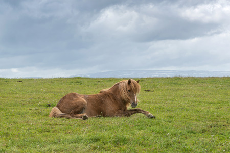 Icelandic horse with dramatic ovescast sky