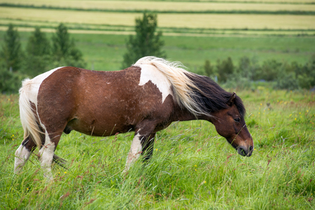 Icelandic horse in a very windy day Stock Photo