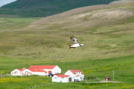 Atlantic Puffin, Fratercula artica in flight, Borgarfjordur, Iceland Banco de Imagens