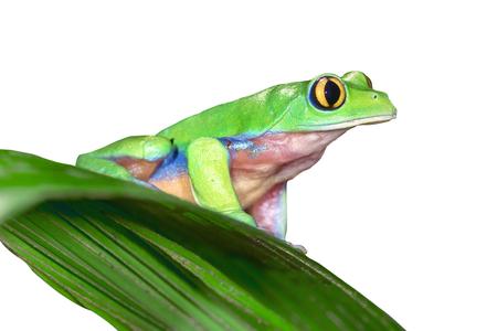 "Golden-eyed Leaf Frog, ""Agalychnis annae"" from Costa Rica"