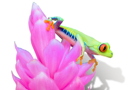 """Red-eyed Tree Frog, """"Agalychnis callidryas� from Costa Rica"""