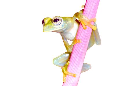 "Spotted Glass Frog, ""Sachatamia albomaculata""-Sarapiqui, Costa Rica"