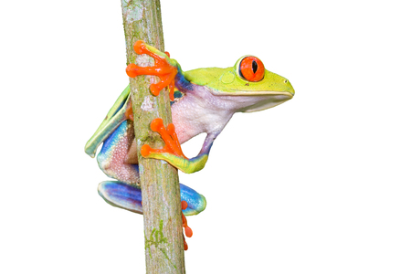 "Red-eyed Tree Frog, ""Agalychnis callidryas"" -Sarapiqui, Costa Rica Stock Photo"