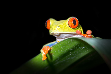 "Red-eyed Tree Frog, ""Agalychnis callidryas� -Sarapiqui, Costa Rica Stockfoto"