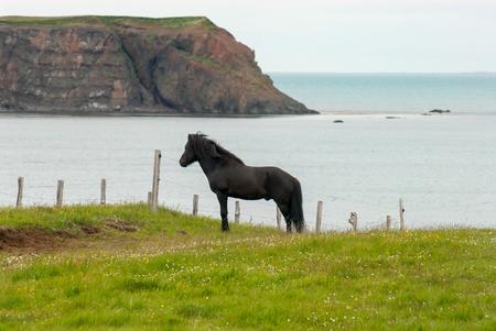 Black beautiful Icelandic horse posing near the coast