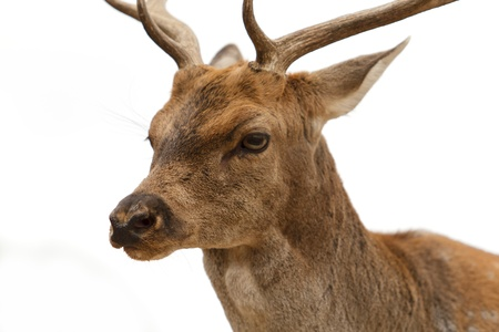 Portrait of a young buck  Just head  Stock Photo - 16483056