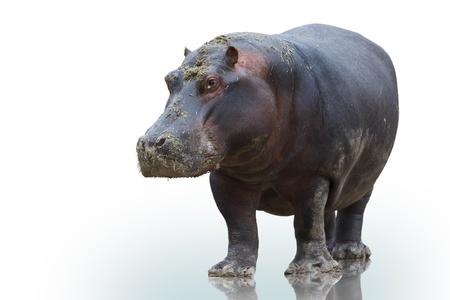 hippo on white background Stock Photo