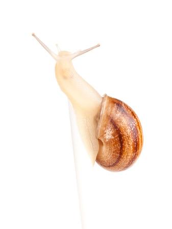 molluscs: Garden spiral snail isolated on white background