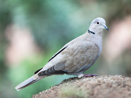 pidgeon: dove on rock Stock Photo