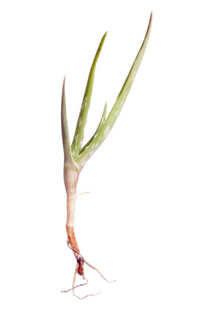 aloe vera plant isolated on white Stock Photo