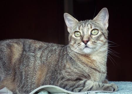 Beautiful grey tabby cat