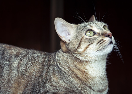grey cat: Beautiful grey tabby cat