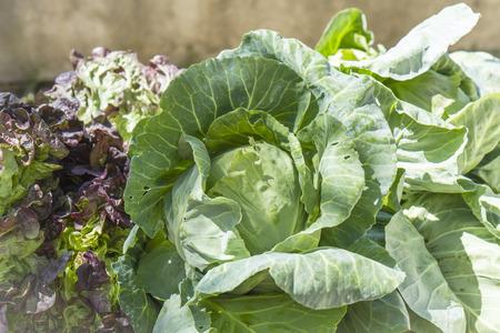 fucking: cabbages and lettuce, seasonal vegetables, freshly Fucking land