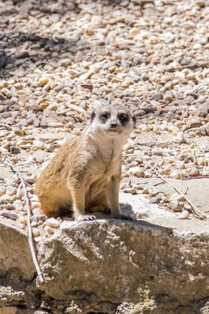 predators: an adult meerkat den watching potential predators Stock Photo