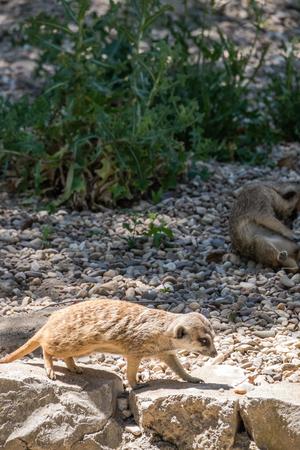 den: an adult meerkat den watching potential predators Stock Photo