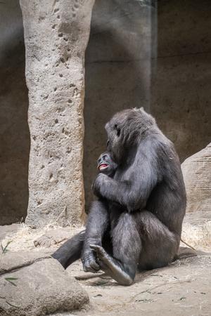 mimos: cuidado gorila hembra y su cría de mimos Foto de archivo