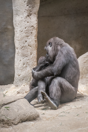 pampering: female gorilla caring and pampering her breeding