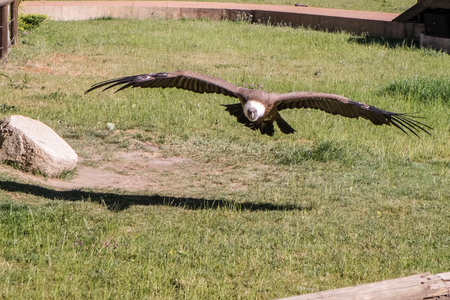 fulvus: one adult vulture flying and planning, Gyps fulvus