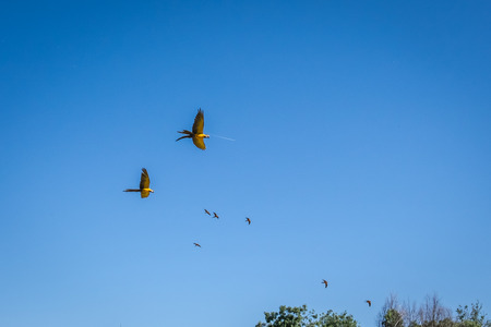 ararauna: pairs of yellow-breasted blue macaw flying under a blue sky, Ara ararauna Stock Photo