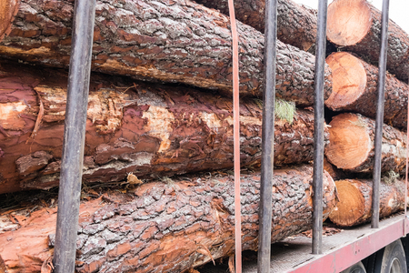 pile of logs: a pile of pine logs on a truck for transport