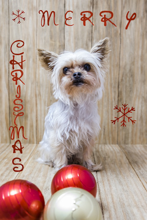 yorkie: yorkie dog with red Christmas balls and golden