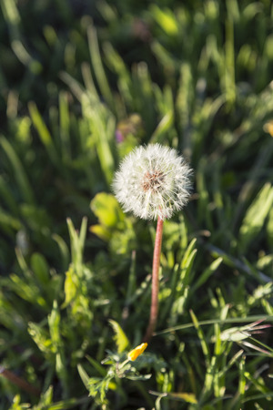 fragile peace: dandelion flower with its white and fragile seeds waiting fly
