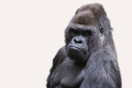 Portrait of adult male gorilla back silver