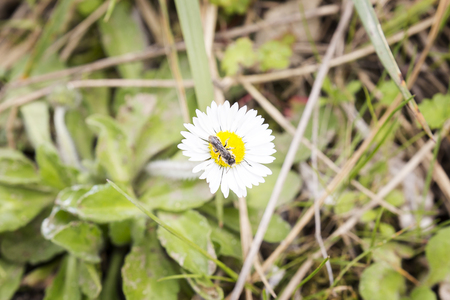 Small black insect picking pollen on a daisy flower